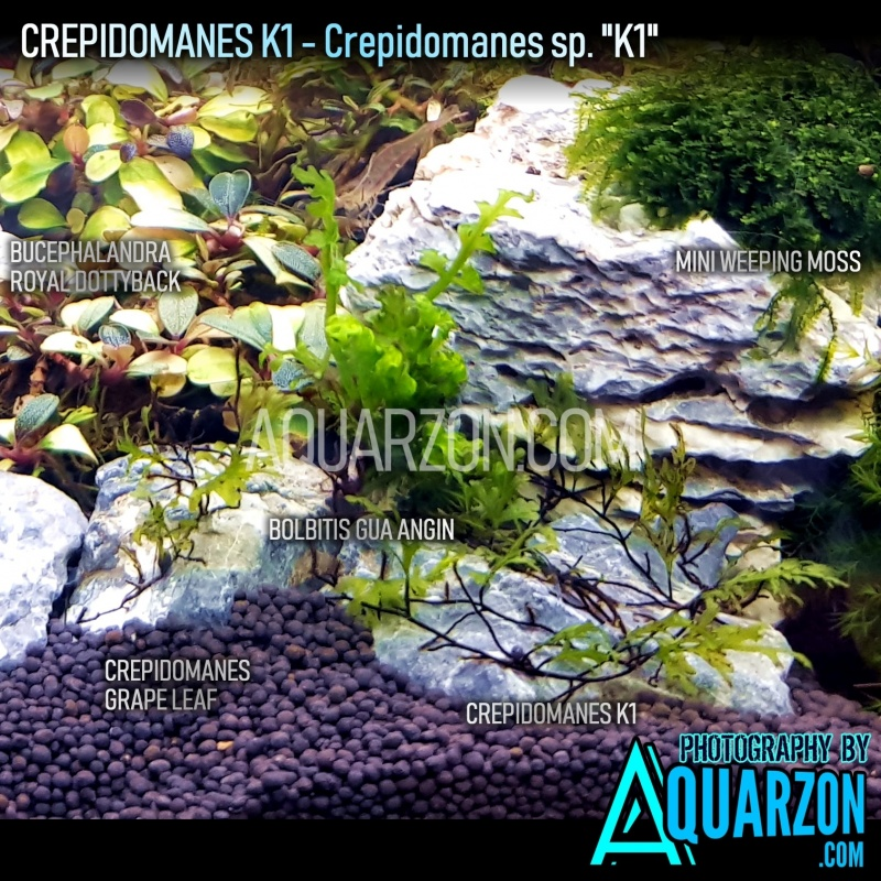 extremely-rare-crepidomanes-k1-micro-fern.jpg