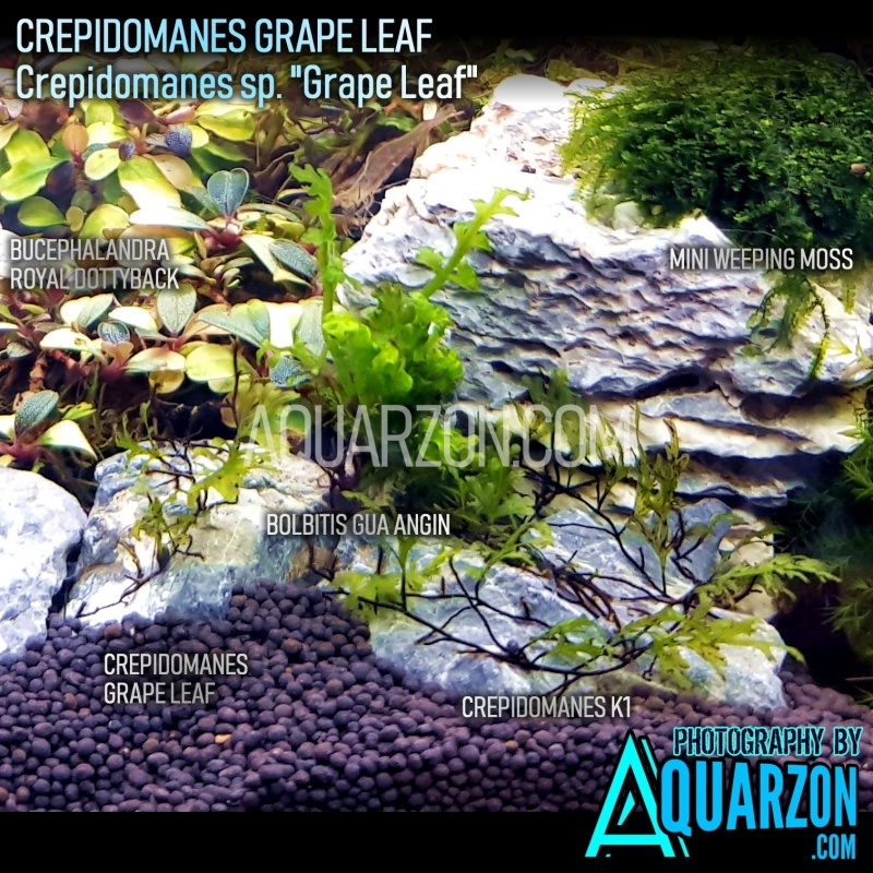 extremely-rare-crepidomanes-grape-leaf-micro-fern.jpg