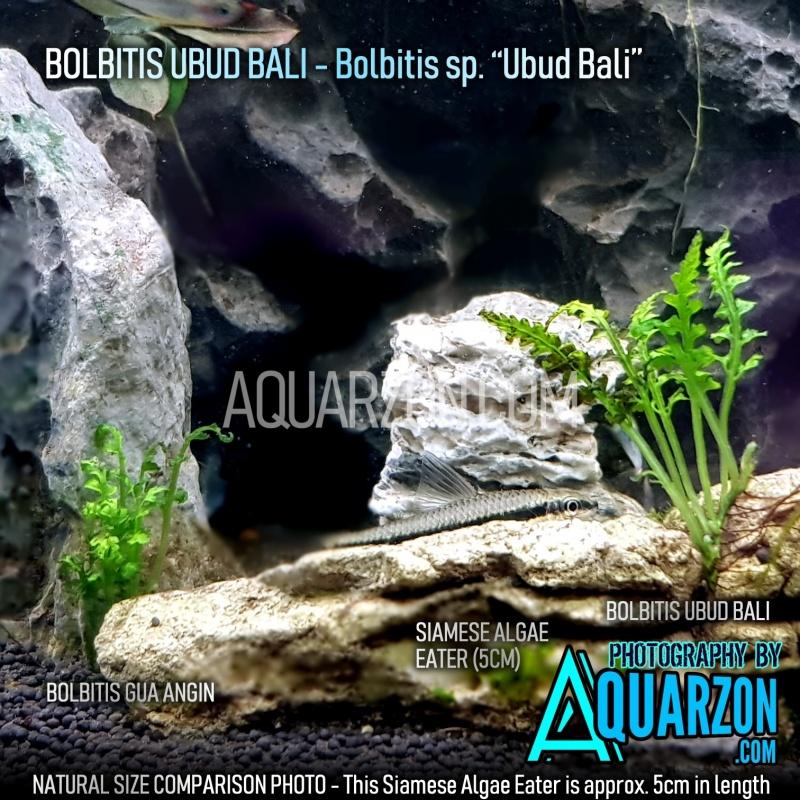 extremely-rare-micro-bolbitis-ubud-bali.jpg