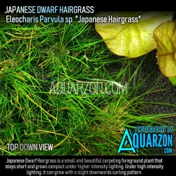 DWARF HAIRGRASS (Eleocharis...