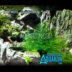 SPIKY MOSS - Taxiphyllum...