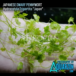 JAPANESE DWARF PENNYWORT -...