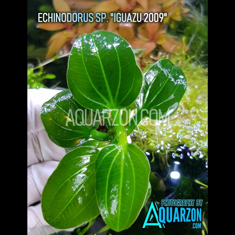 rare-echinodorus-opacus-sp-iguazu-2009-.jpg