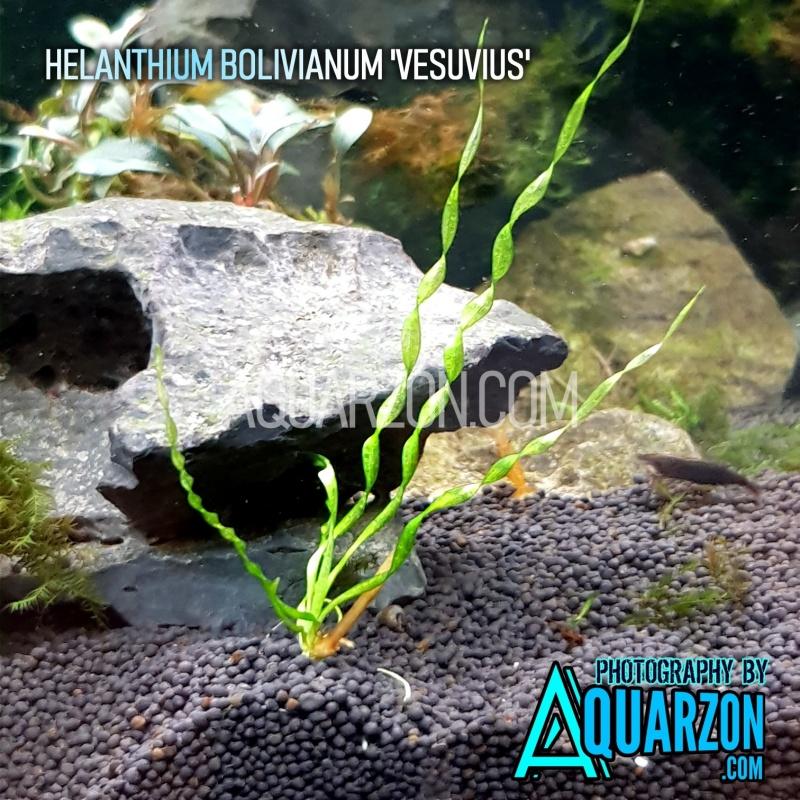 helanthium-bolivianum-vesuvius-midground-plant.jpg