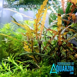 HYGROPHILA PINNATIFIDA -...