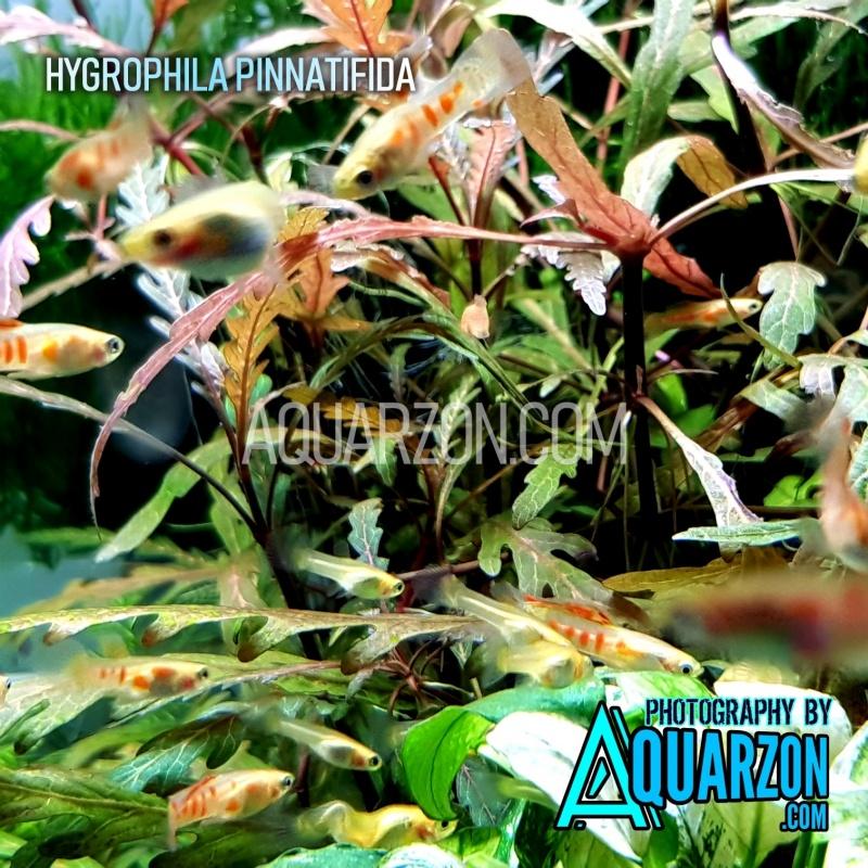 hygrophila-pinnatifida-recommended.jpg