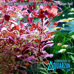 LUDWIGIA MINI SUPER RED  -...