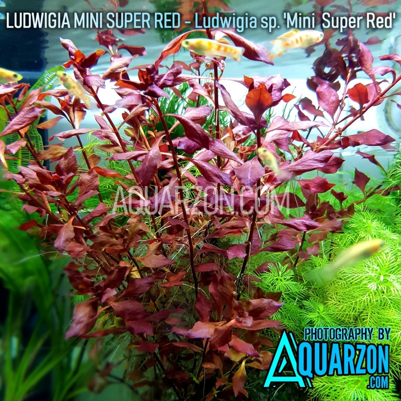 ludwigia-mini-super-red-quality-aquarium-submersed-grown.jpg
