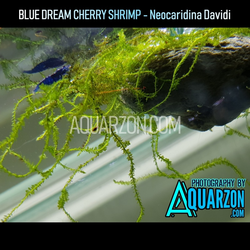 blue-dream-cherry-shrimps-standard-to-very-high-grade-pack.jpg