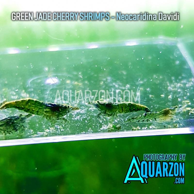 green-jade-cherry-shrimps-mix-pack.jpg