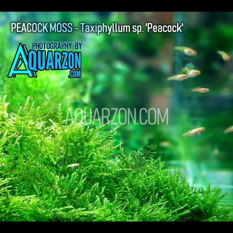 true-peacock-moss-taxiphyllum-sp-peacock-.jpg