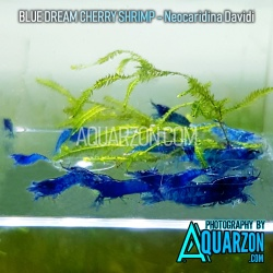 BLUE DREAM SHRIMPS...