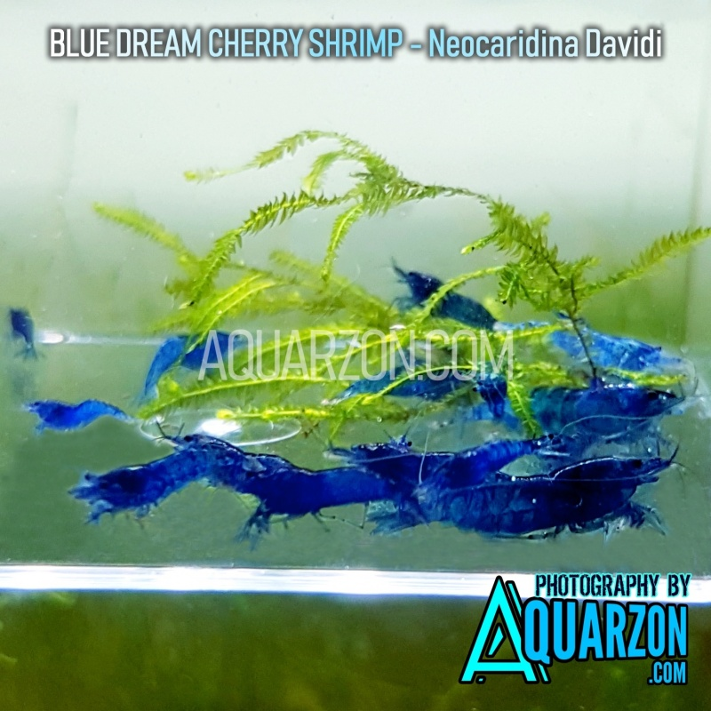 blue-dream-cherry-shrimps-standard-to-very-high-grade-pack.jpg