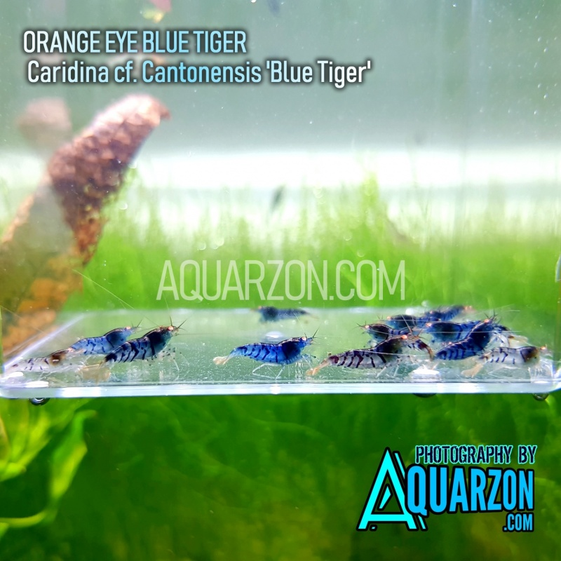 orange-eye-blue-tiger-oebt-shrimps-mix-pack.jpg