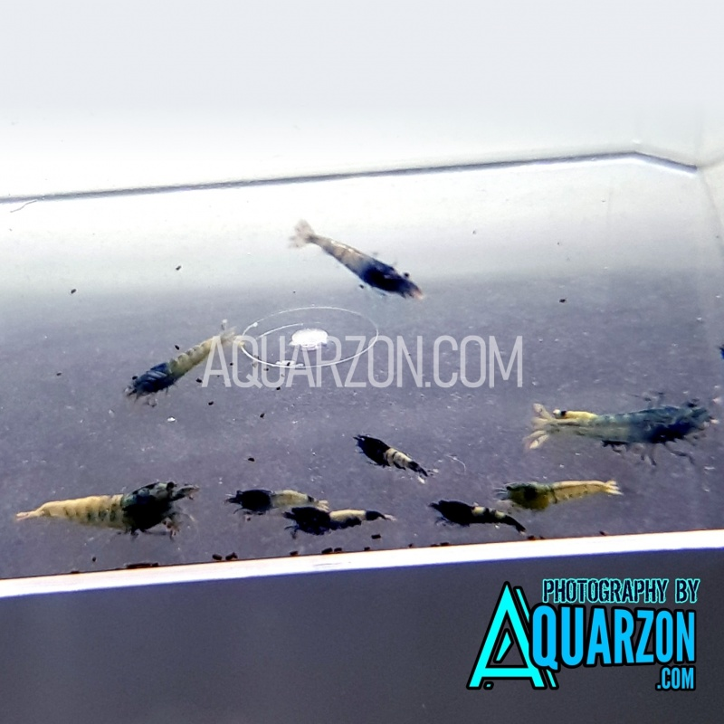 taiwan-bee-pinto-blue-bolt-shrimps-mix-pack.jpg