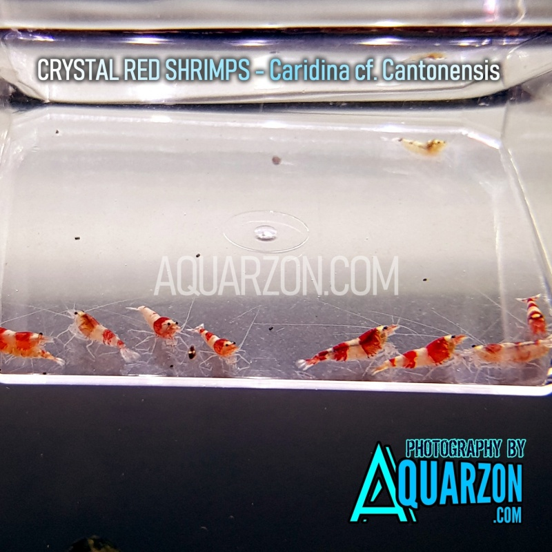 crystal-red-shrimps-crs-mix-pack.jpg