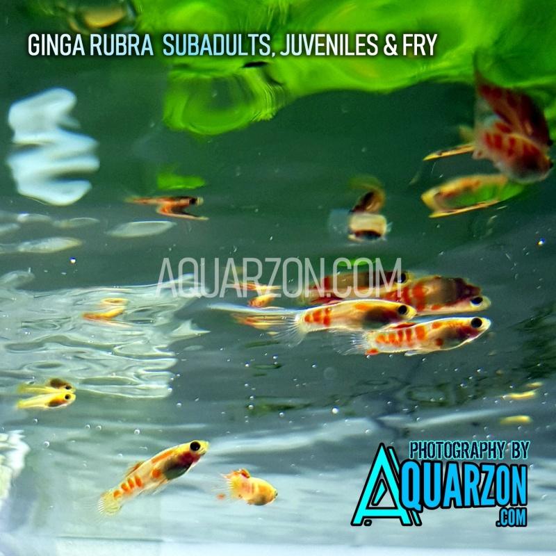 quality-ginga-rubra-livebearer-guppies.jpg