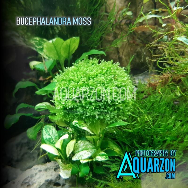 bucephalandra-moss-buce-moss.jpg