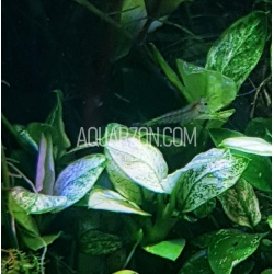 VERY RARE TRUE ANUBIAS WHITE