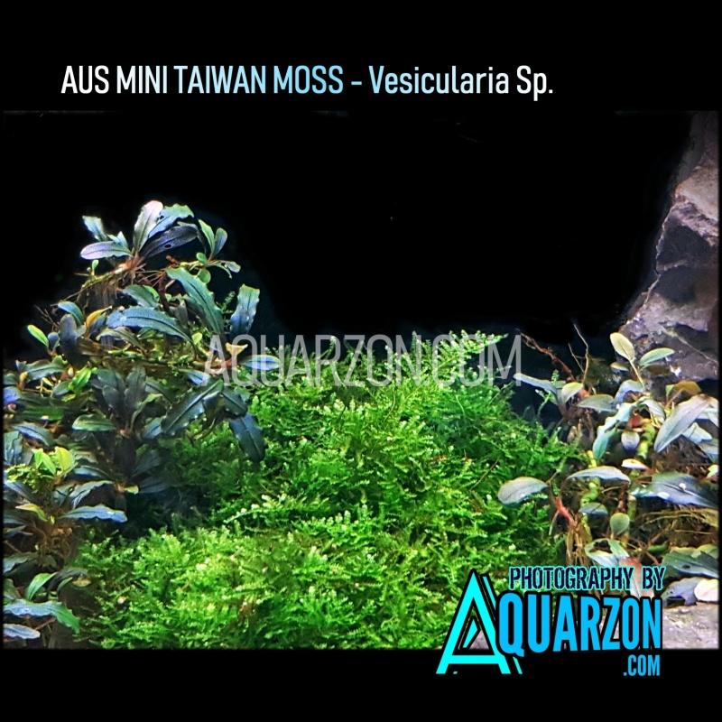 rare-aus-mini-taiwan-moss.jpg