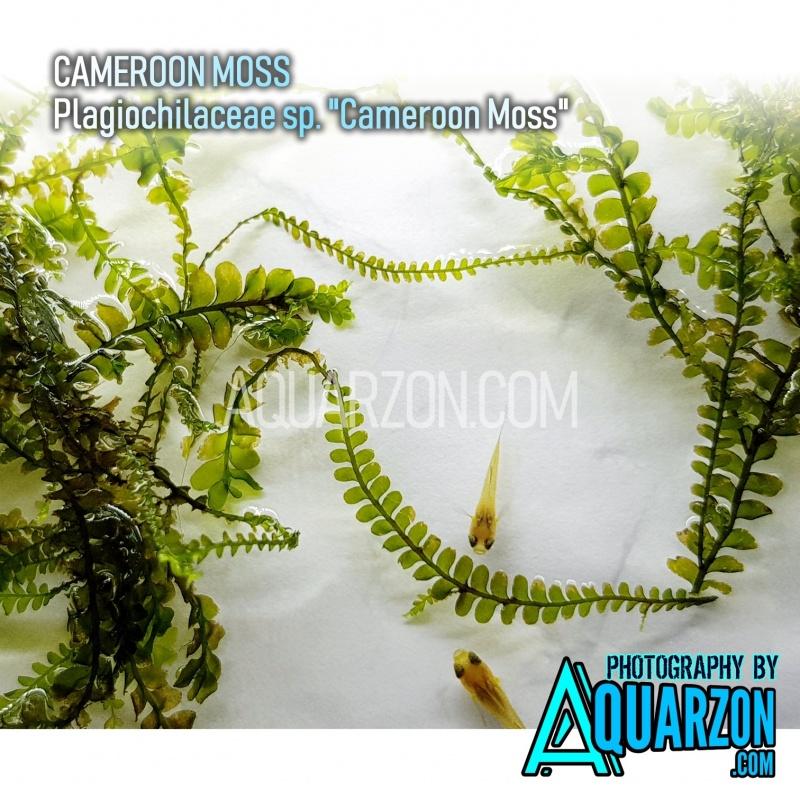 rare-cameroon-moss-plagiochilaceae-sp-cameroon-moss.jpg
