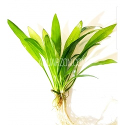 NARROW AMAZON SWORD PLANT...