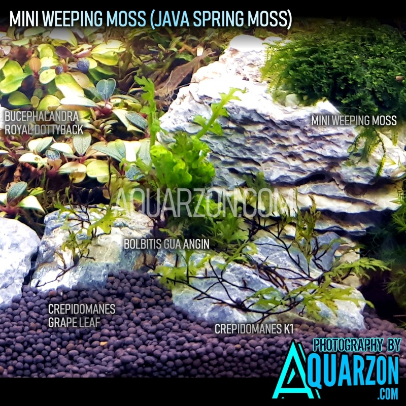 extremely-rare-mini-weeping-moss-spring-moss.jpg