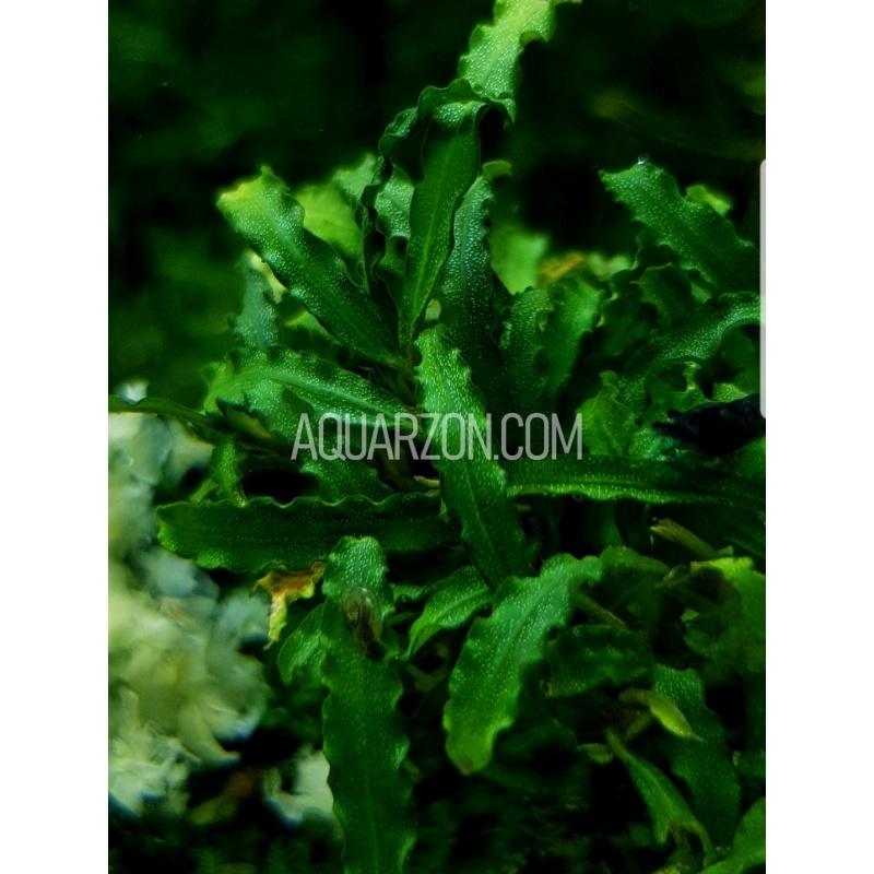bucephalandra-catherinae-bucephalandra-sp-catherinae-.jpg