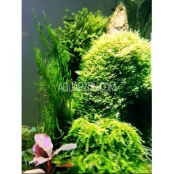 MINI PELLIA - Coral Moss -...
