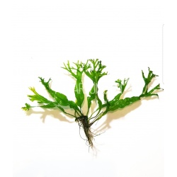 CRESTED JAVA FERN -...