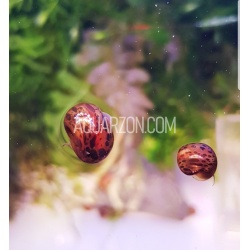BROWN LEOPARD RAMSHORN SNAILS