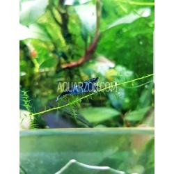 BLUE CARBON SHRIMPS Mix Pack