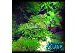 Top 4 Aquatic Aquarium Fissidens Mosses from Australia & US